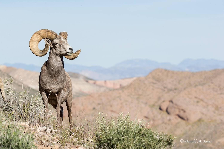 Desert-Bighorn-Sheep00946D