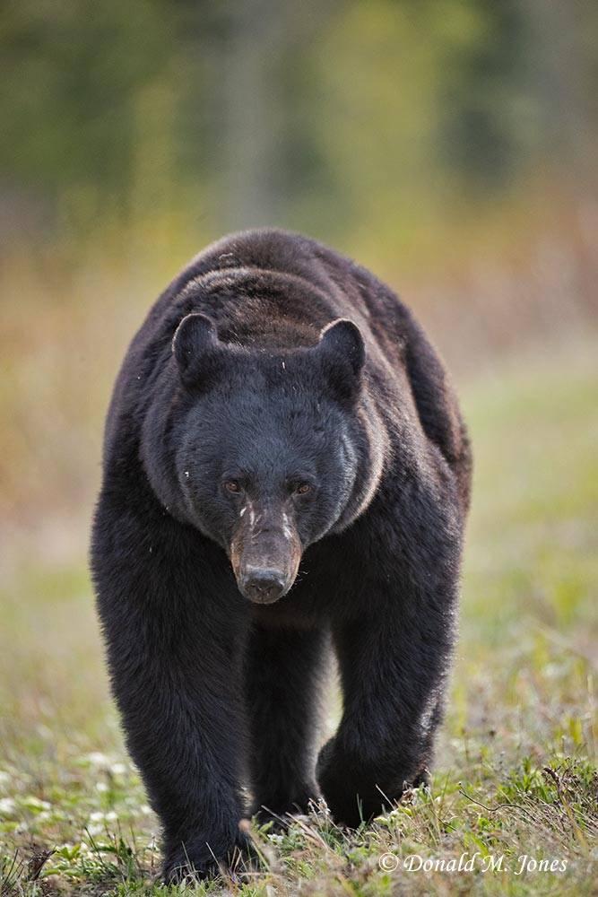 Black-Bear08212D