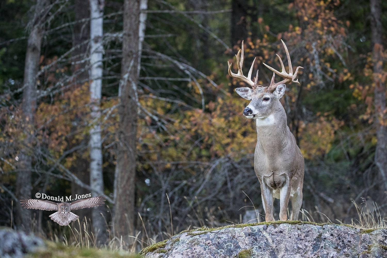 Whitetail-Deer55588D