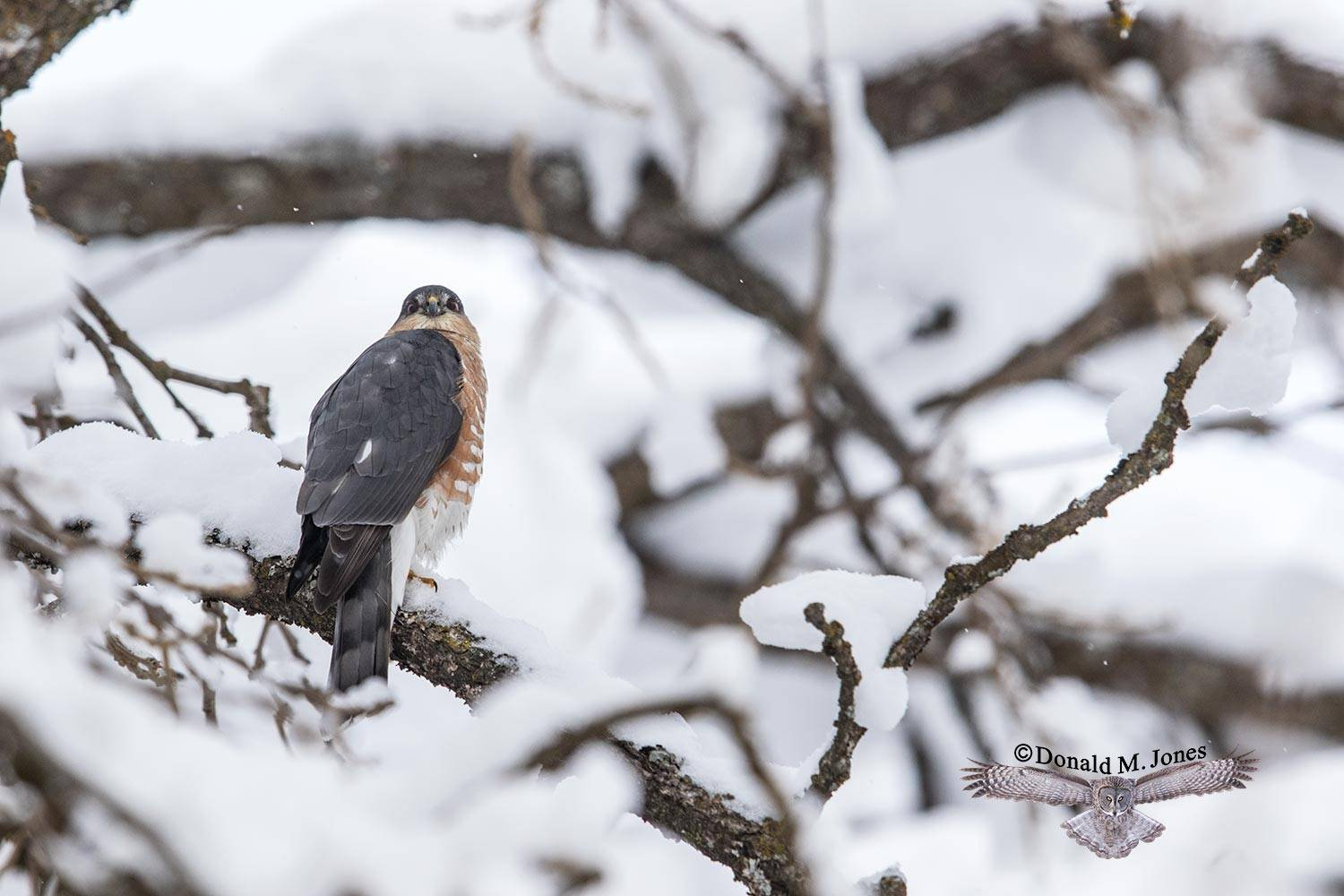 Sharp-shinned-Hawk0103D