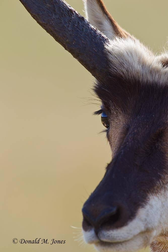 Pronghorn-Antelope03596D