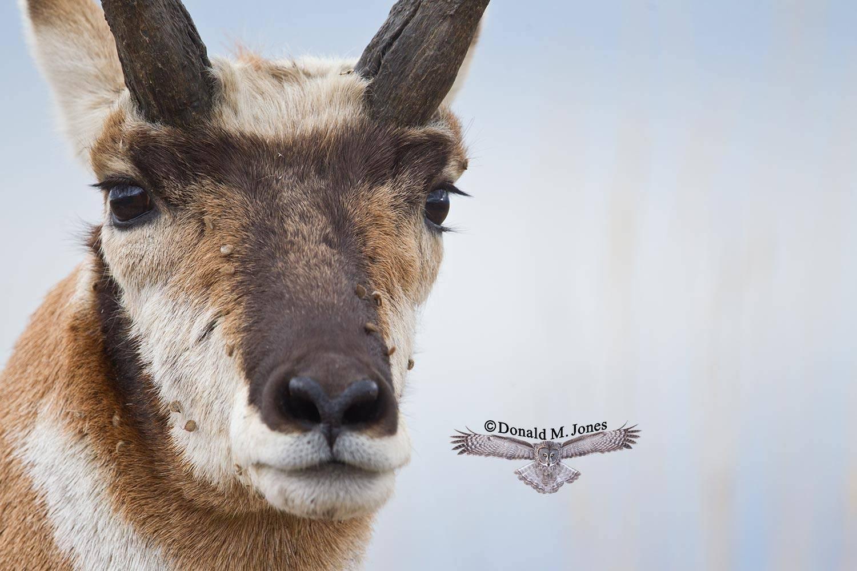 Pronghorn-Antelope04520D