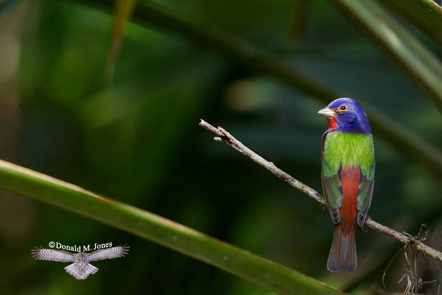 Painted-Bunting0112D