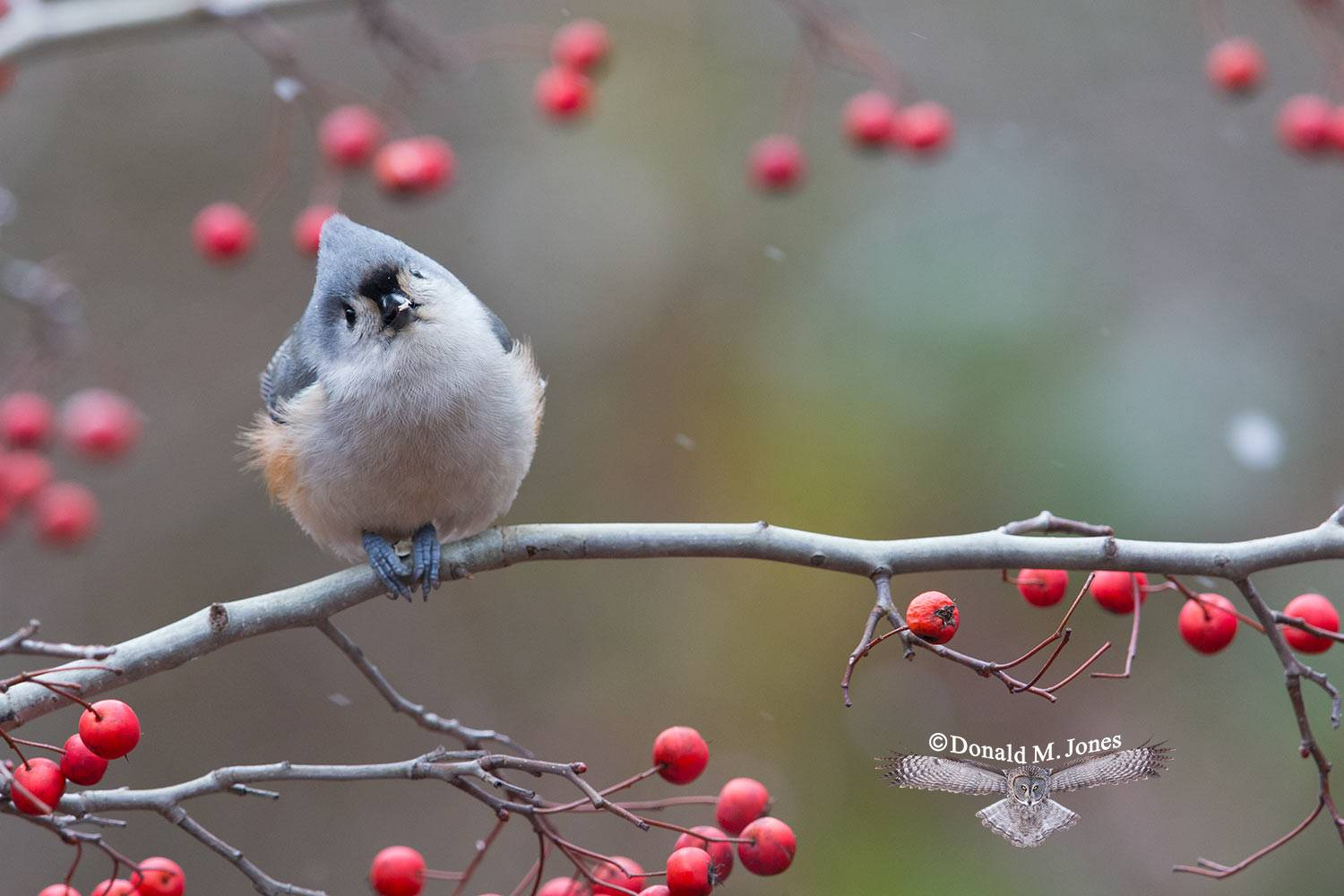 Tufted-Titmouse0119D