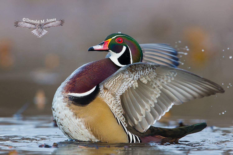 Wood-Duck0451D