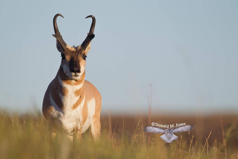 Pronghorn-Antelope03786D