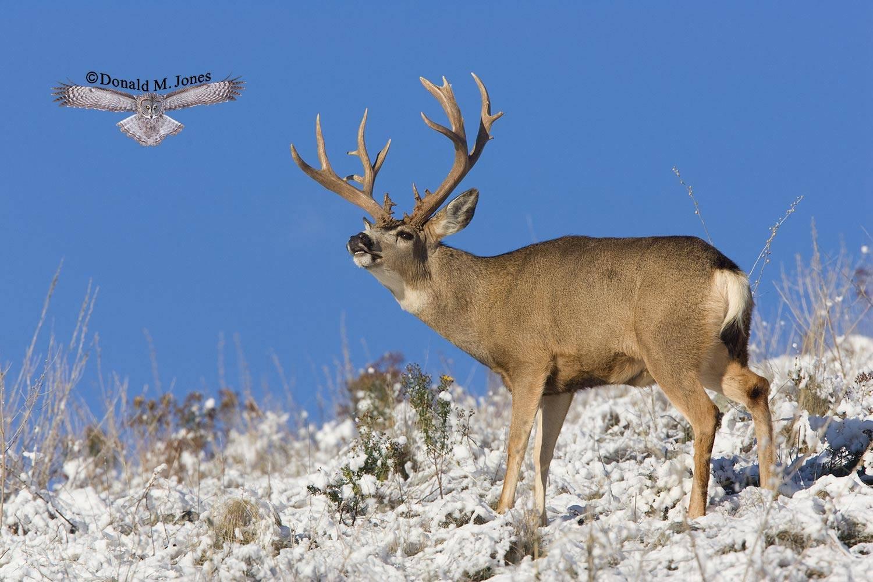 Mule-Deer06132D
