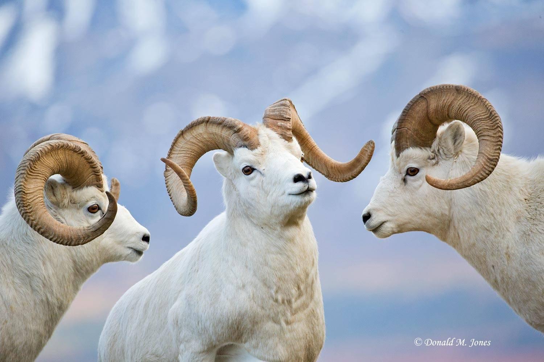 Dall-Sheep01947D