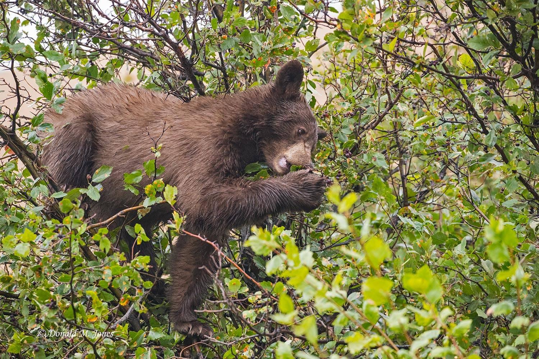 Black-Bear08112D