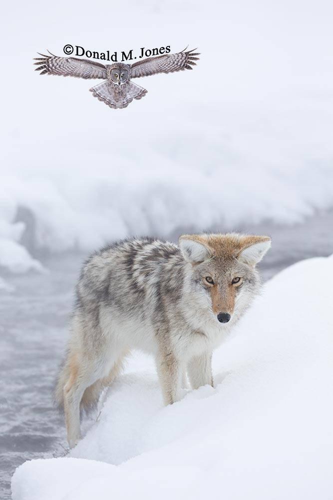 Coyote02429D