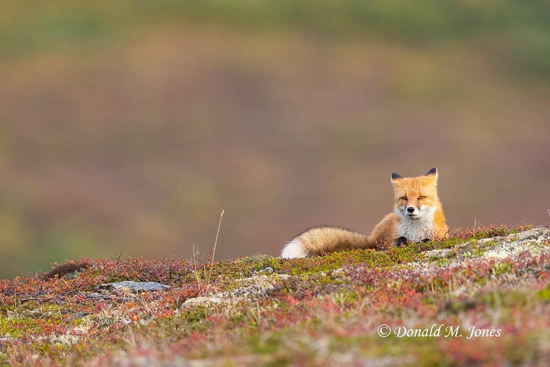 Red-Fox1684D