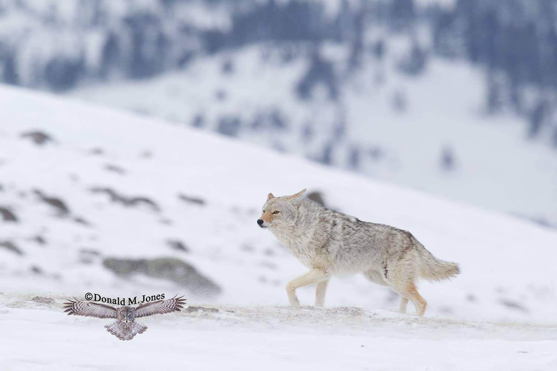 Coyote2239D