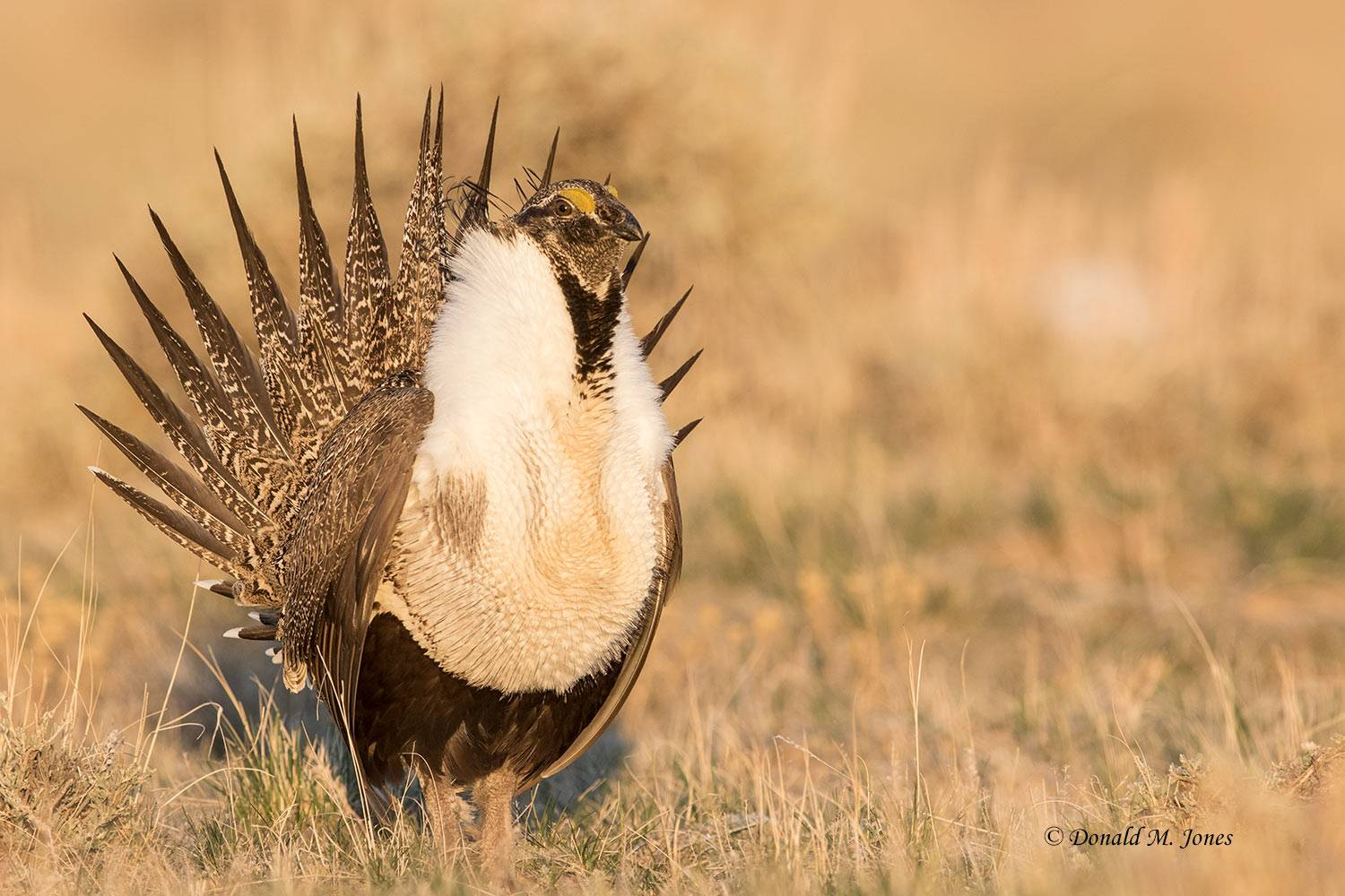 Greater-Sage-Grouse1035D
