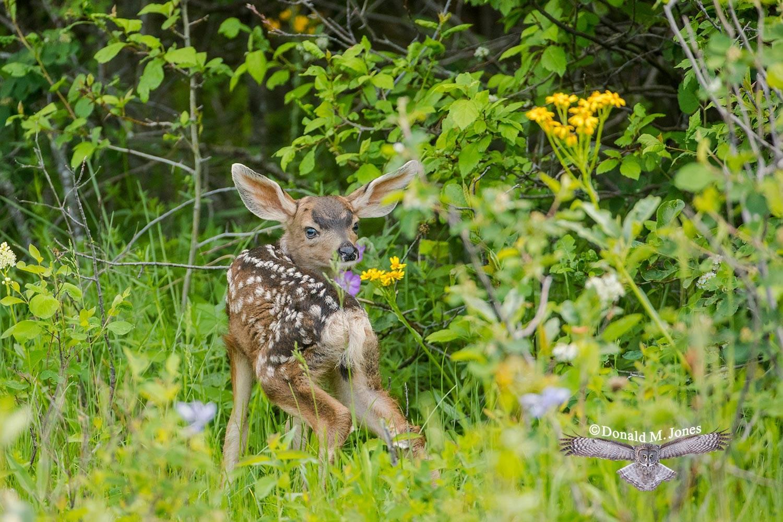 Mule-Deer10970D