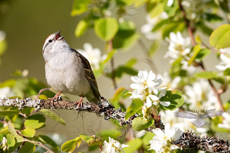 May 12 Chipping Sparrow singing