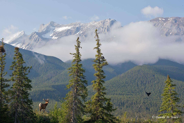 Elk-(Rocky-Mtn)21812D