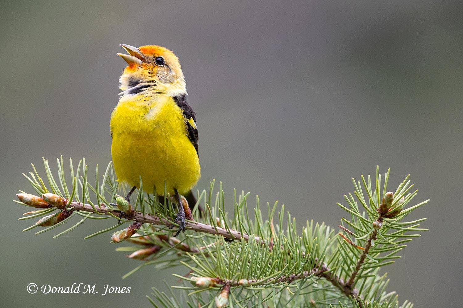 May 23 - Western Tanager0913D