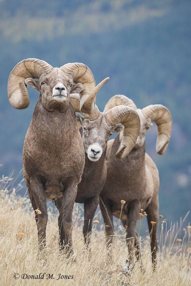 Bighorn-Sheep06129D