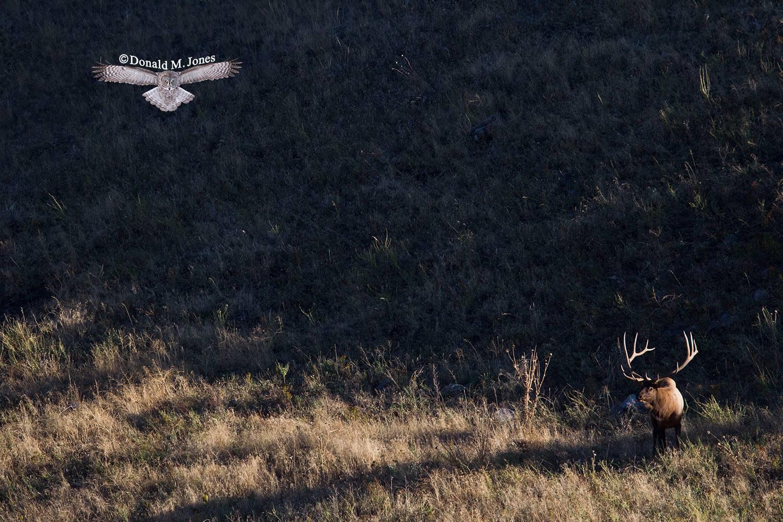 Elk-(Rocky-Mtn)19819D