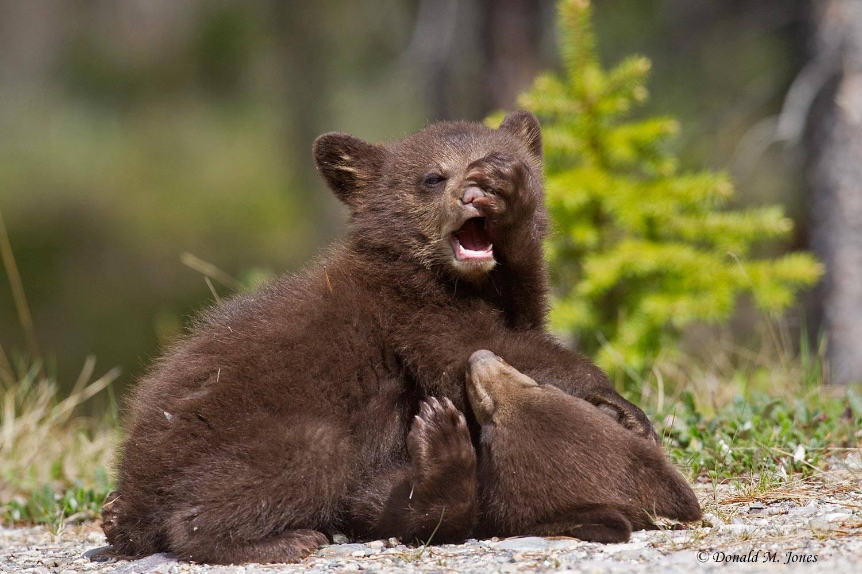 Black-Bear05696D
