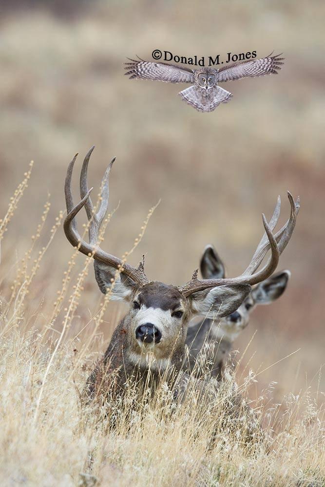 Mule-Deer-06952D