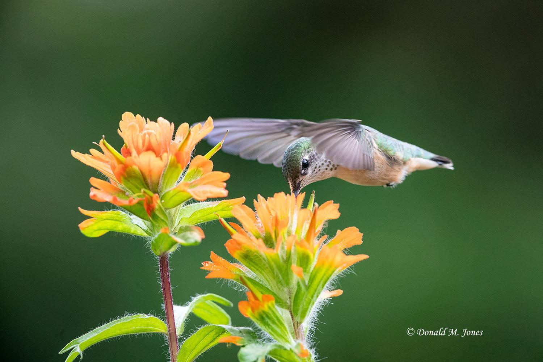 Calliope-Hummingbird0429D