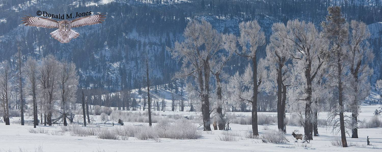 Elk-(Rocky-Mtn)16271D