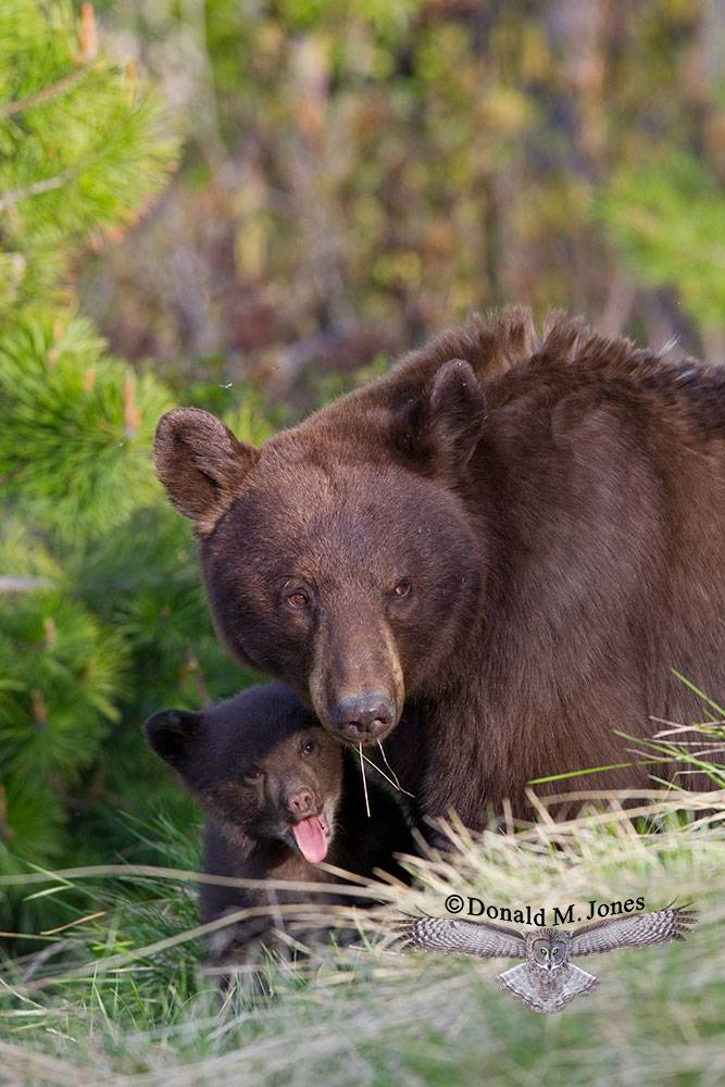 Black-Bear05970D