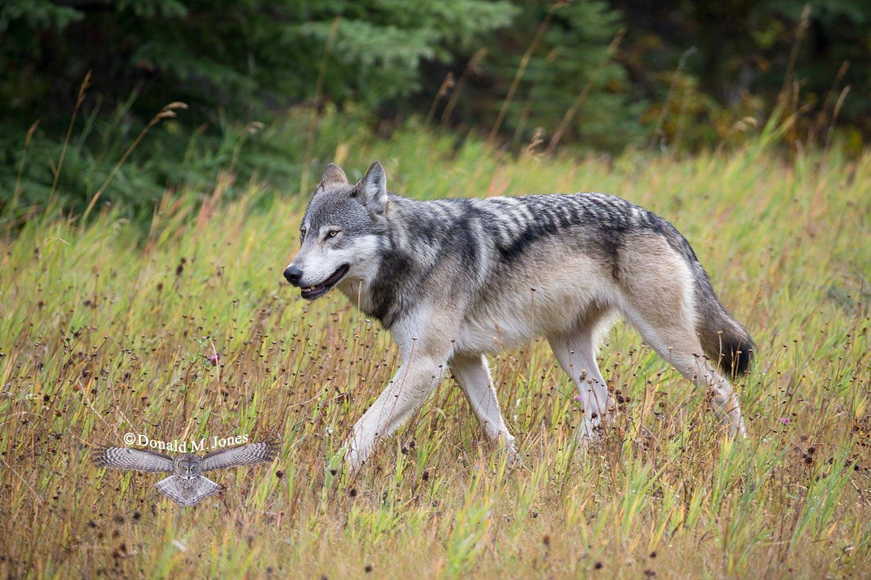 Wolf0597D