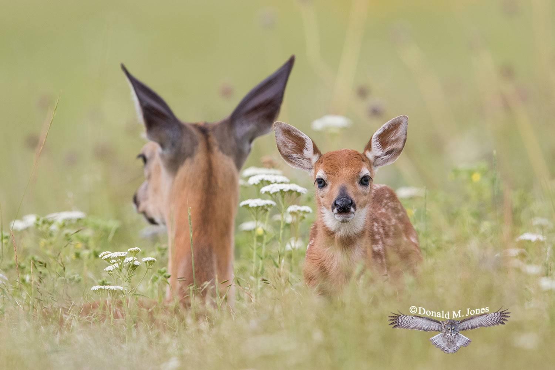 Whitetail-Deer57361D
