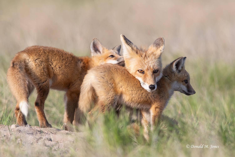 Red-Fox1609D