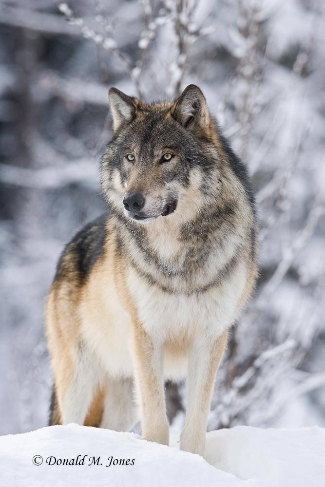 Wolf0437D
