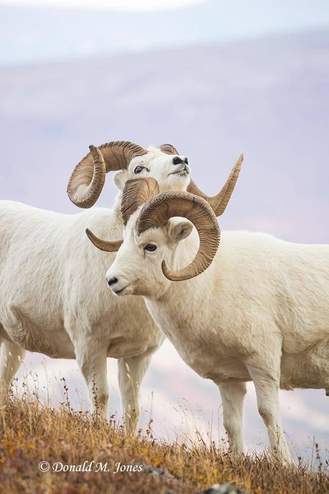 Dall-Sheep02201D
