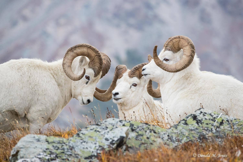 Dall-Sheep02133D