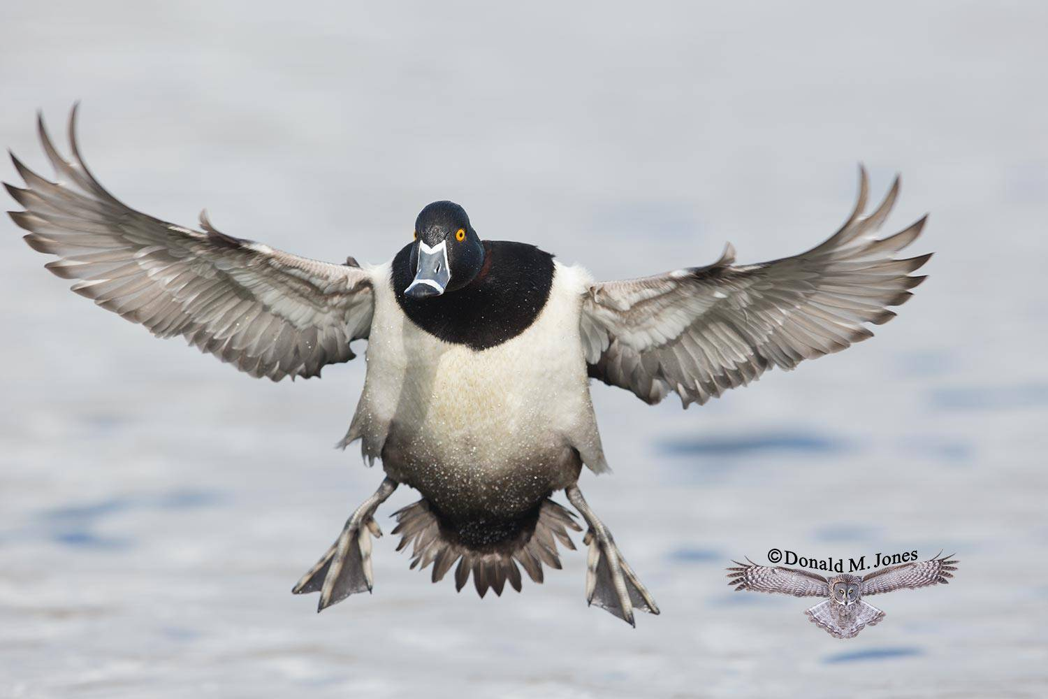 Ring-necked-Duck0170D