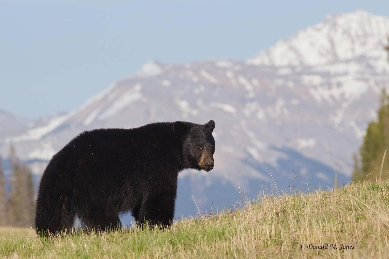 Black-Bear05849D