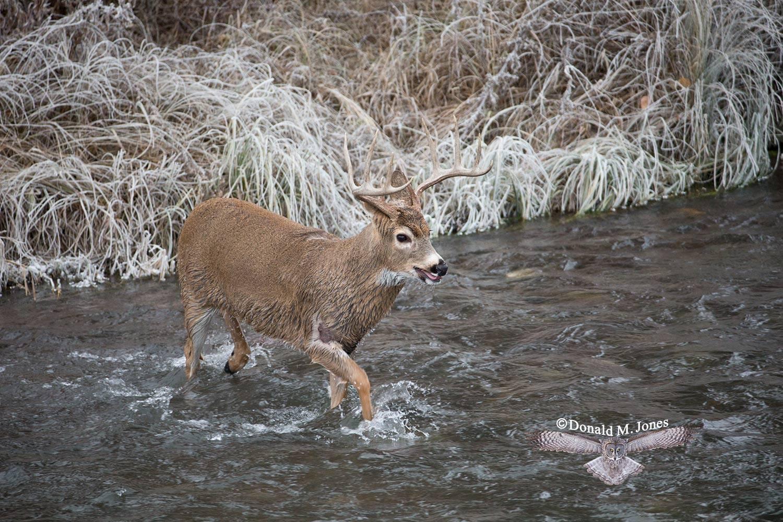 Whitetail-Deer49305D