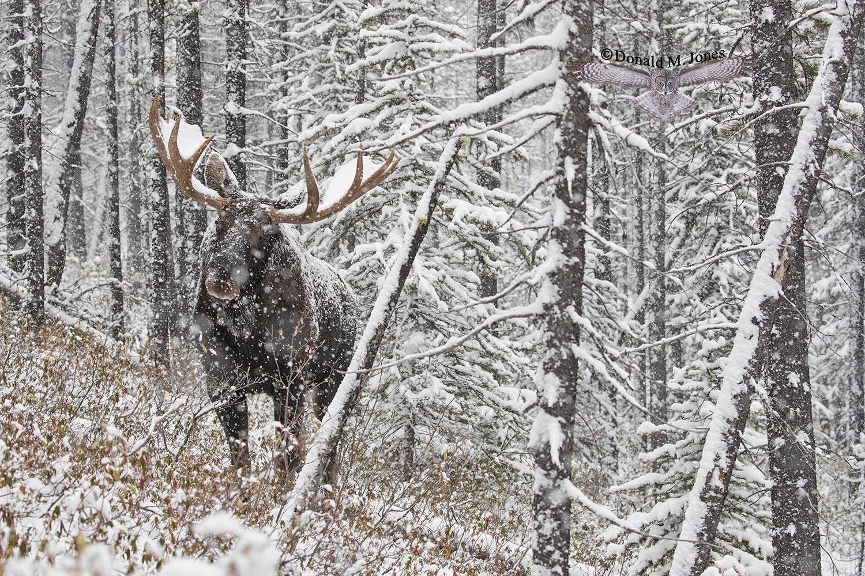 Moose06601D