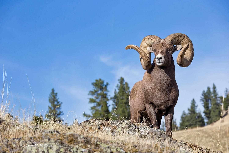 Bighorn-Sheep05889D