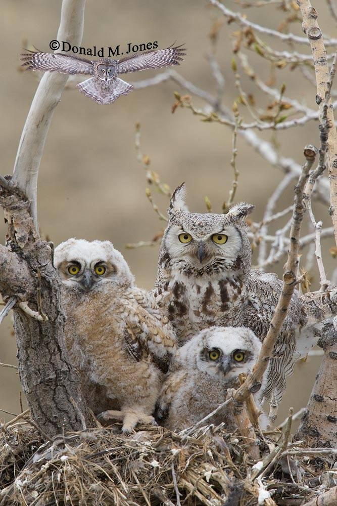 Great-Horned-Owl0178D
