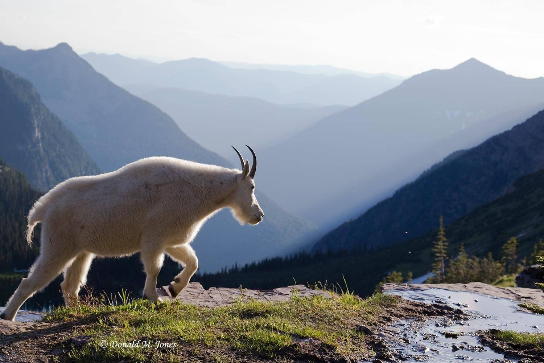 Mountain-Goat02195D