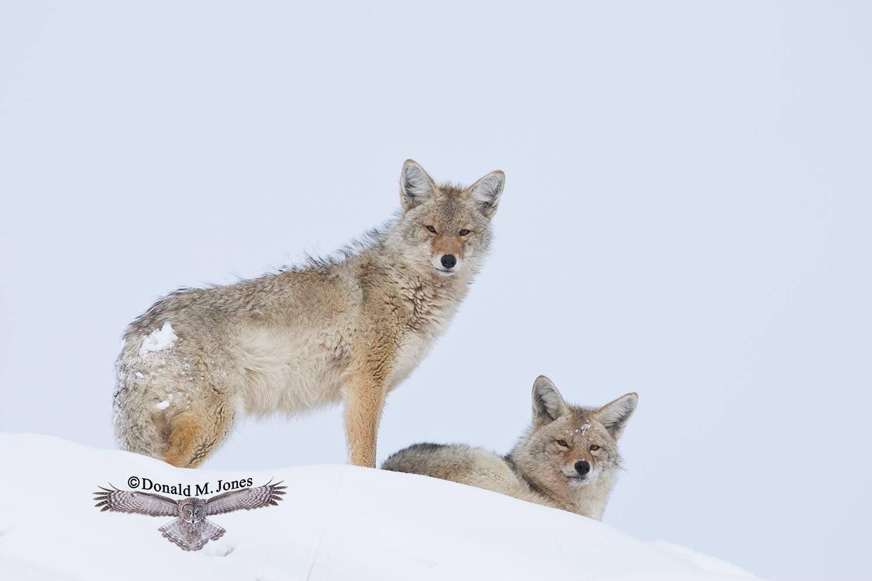 Coyote01891D
