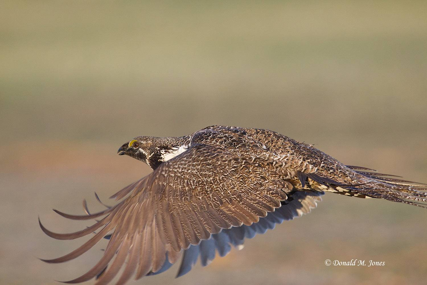 Greater-Sage-Grouse0670D