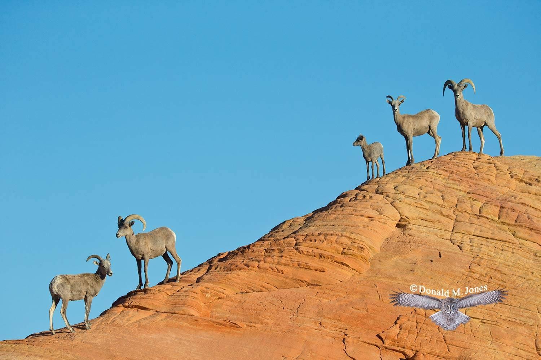 Desert-Bighorn-Sheep00365D