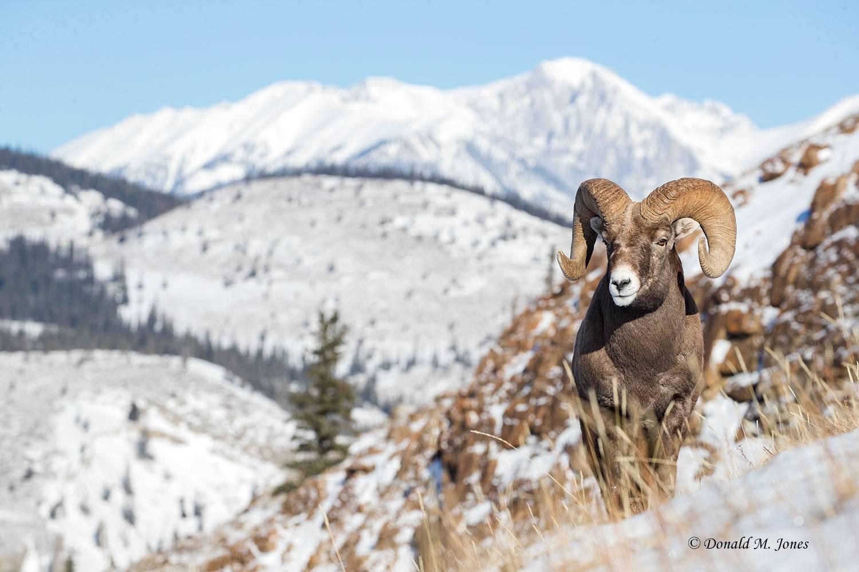 Bighorn-Sheep06025D
