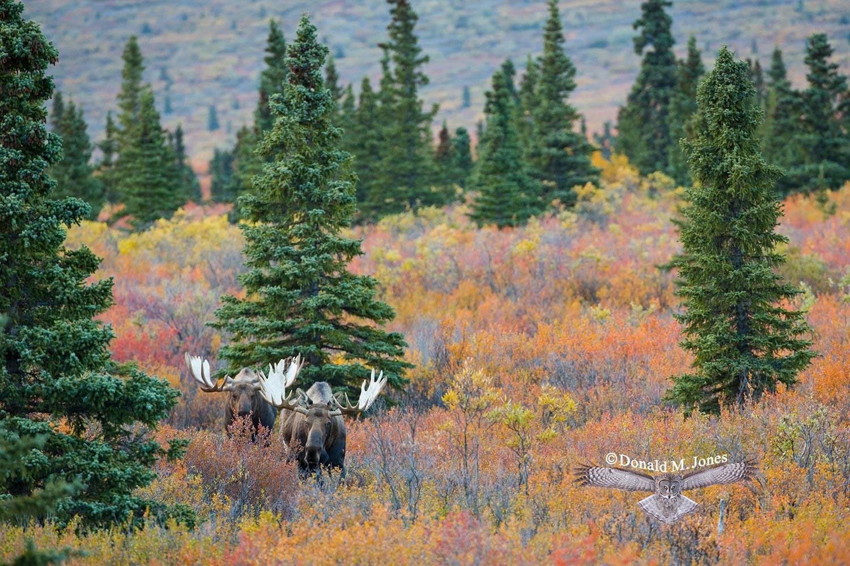 Moose05479D