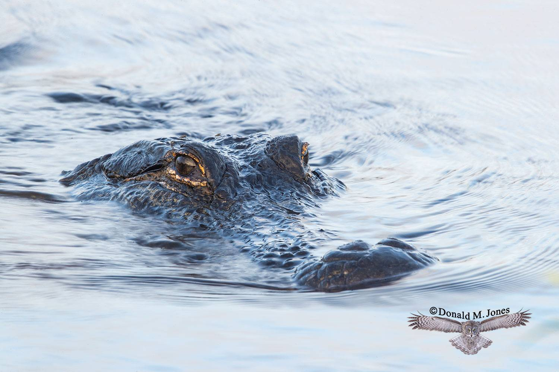 American-Alligator0309D