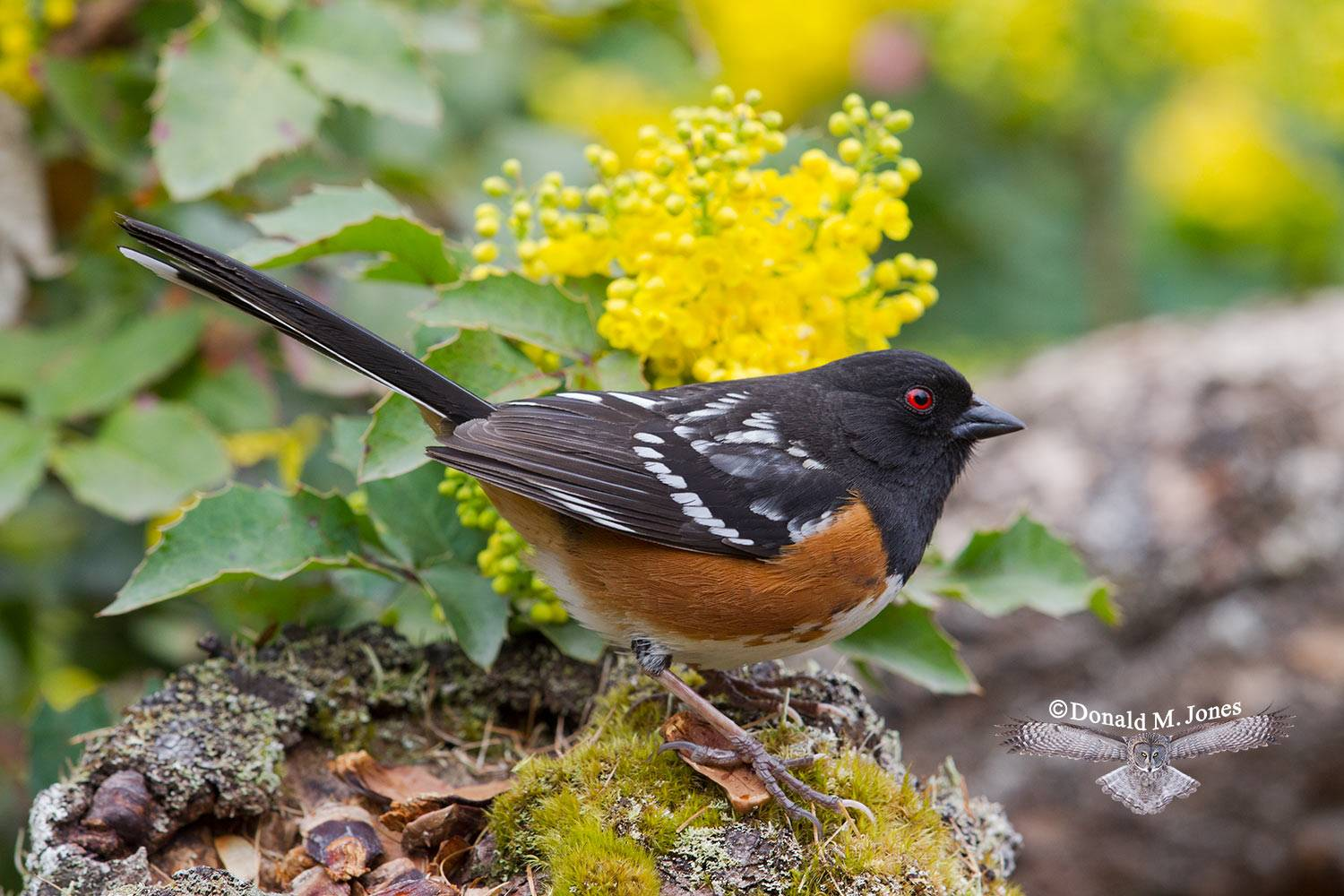 Spotted-Towhee0440D