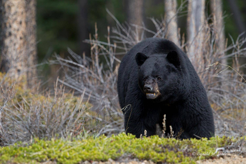 Black-bear06655D