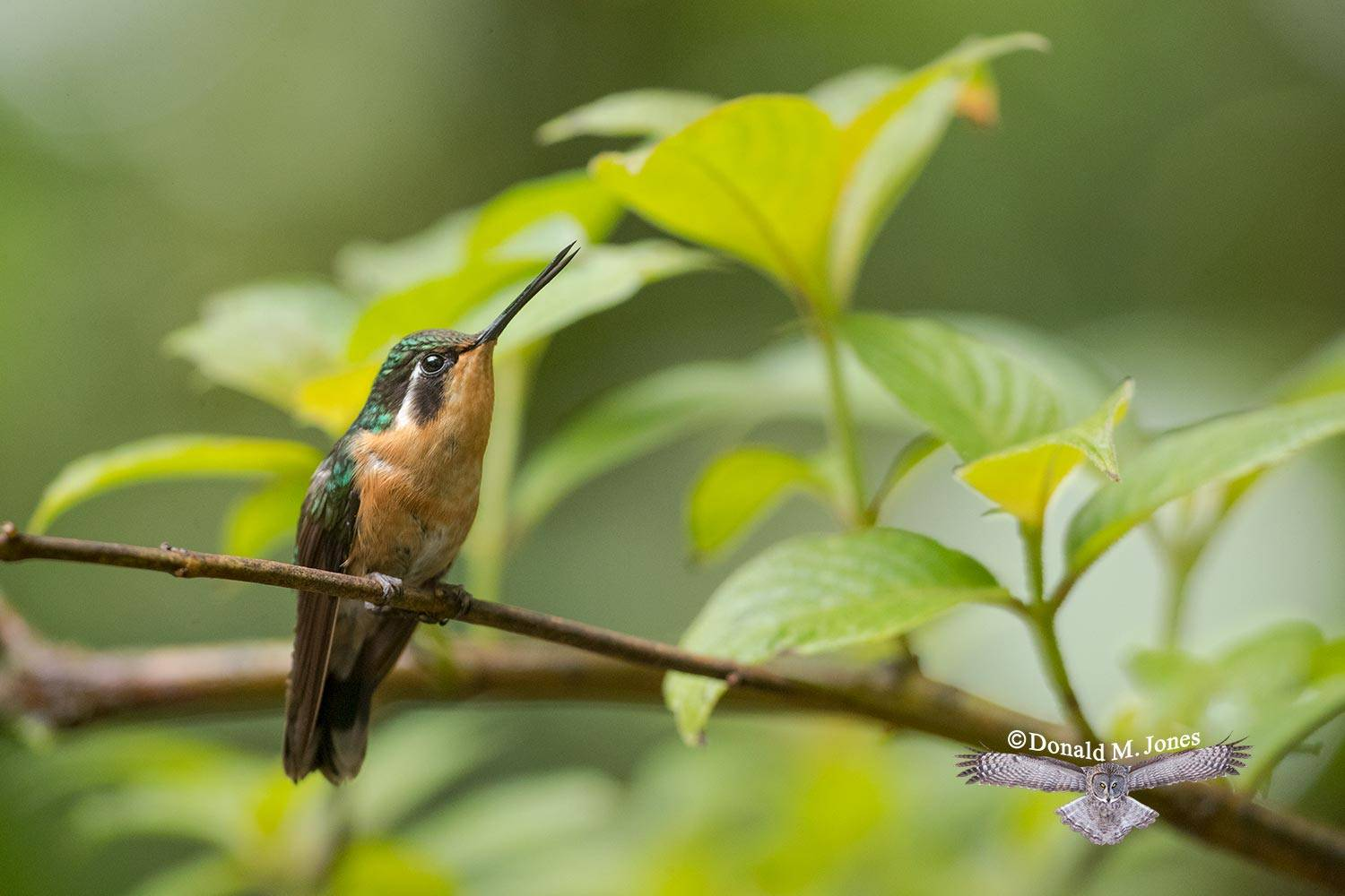 Purple-throated-Mountain-Gem0117D